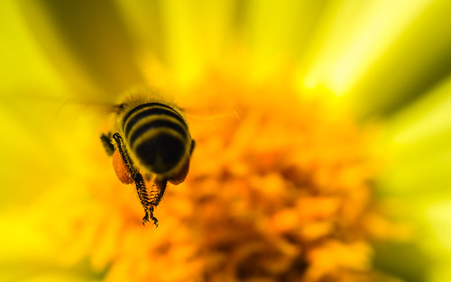 bee flying flight macro closeup depthoffield dof olympusomdem5 olympusmscedm60mmf28 flower pollen insect honeybee johnwestrock microfourthirds