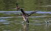 White-faced Whistling Duck, Lac Alarobia, Antananarivo, Madagascar by Terathopius