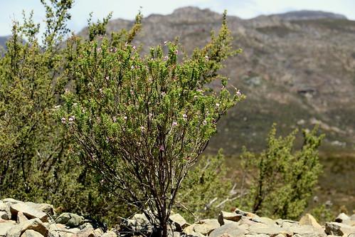 Pelargonium hermanniifolium in wild