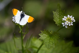Orange-tip butterfly (Anthocharis cardamines). I don't know what the flower is. | by karl101