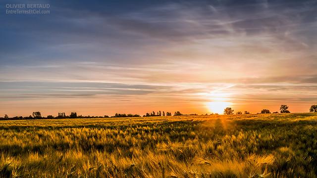 Lever de soleil sur un champ d'orge (HDR)