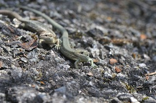 Common Lizard | by markhows