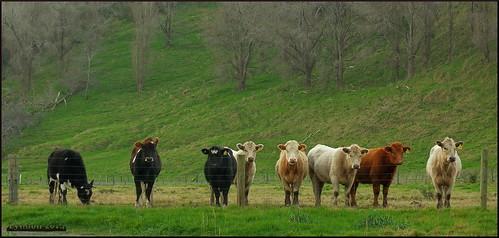 newzealand nature animal rural farm pastoral wairarapa 52weeksthe2014edition week292014 weekstartingwednesdayjuly162014