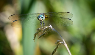 Blue dasher | by Bryan Jacoby
