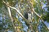 Harpy Eagle - Gavião-real - Harpia harpyja by Ciro Albano - NE Brazil Birding