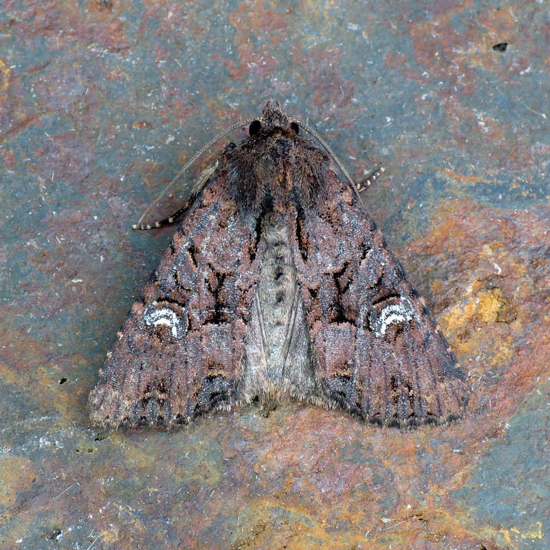 2343x Common Rustic agg - Mesapamea sp.