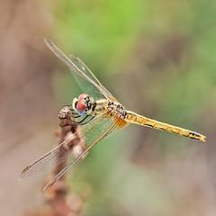 Libelula pacient  #Espiadimonis #Santcarlesdelarapita #Deltadelebre #nikkor105 #D800 #Macro #Macroshot #libelle #dragonfly #insecte #insect #libelula #igcatalunya #ig_dragonflies #macros #macrophotography #cat #catalonia #macrooftheday #bugs_are_us_ #rsa_