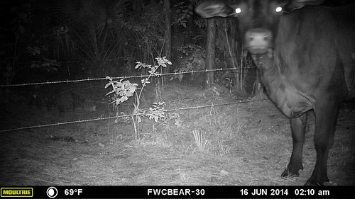 Cow!? - FWC trail cam photo - Florida Fish and Wildlife - Flickr