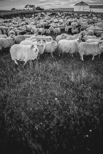 Sheep gathering in Vogar Iceland | by AdalsteinnSvanHjelm