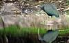 Green Ibis (Mesembrinibis cayennensis) by Daniel Mclaren .:. Naturalist Guide CR