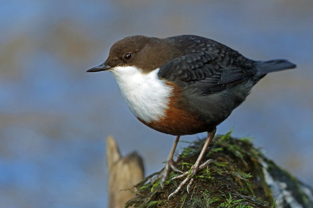 White-throated Dipper, Lanthwaite Wood, Cumbria, England
