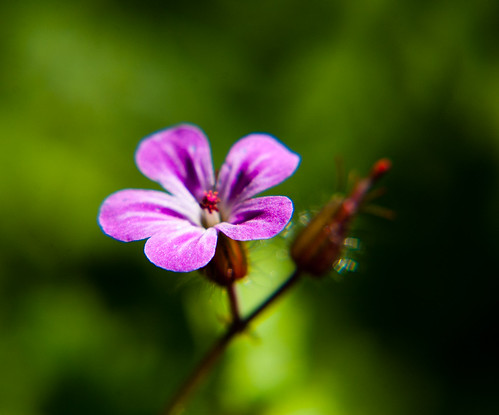 Cranesbill: flower and seed head