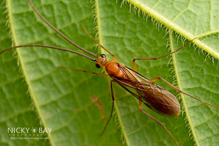 Winged ant (Diacamma sp.) - DSC_2114