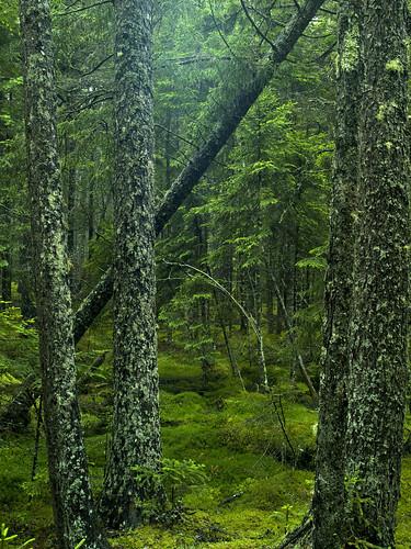 trees green nature beautiful forest coast maine trail natureconservancy barredislandpreserve