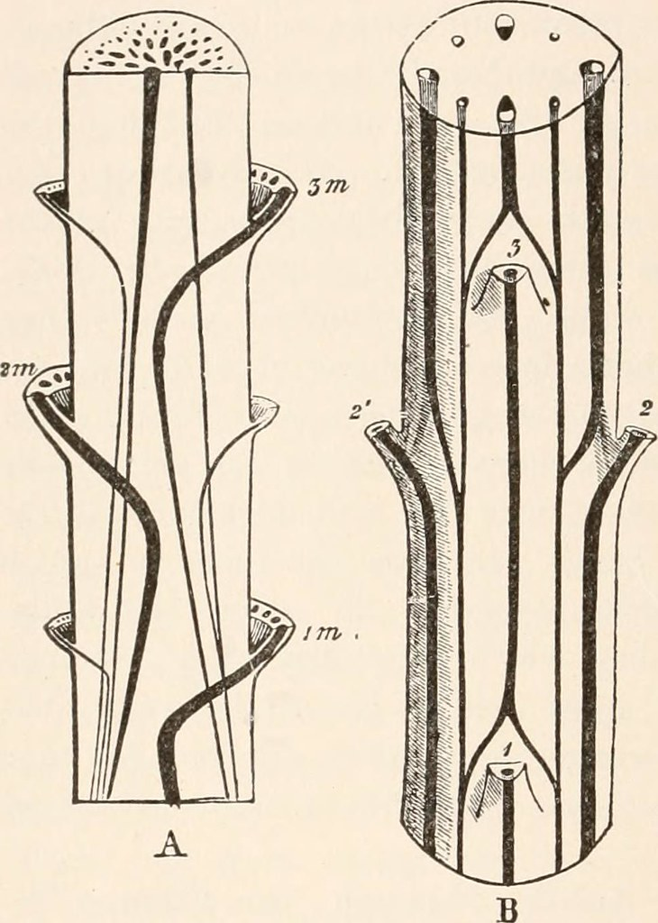 Image From Page 123 Of Plant Anatomy From The Standpoint