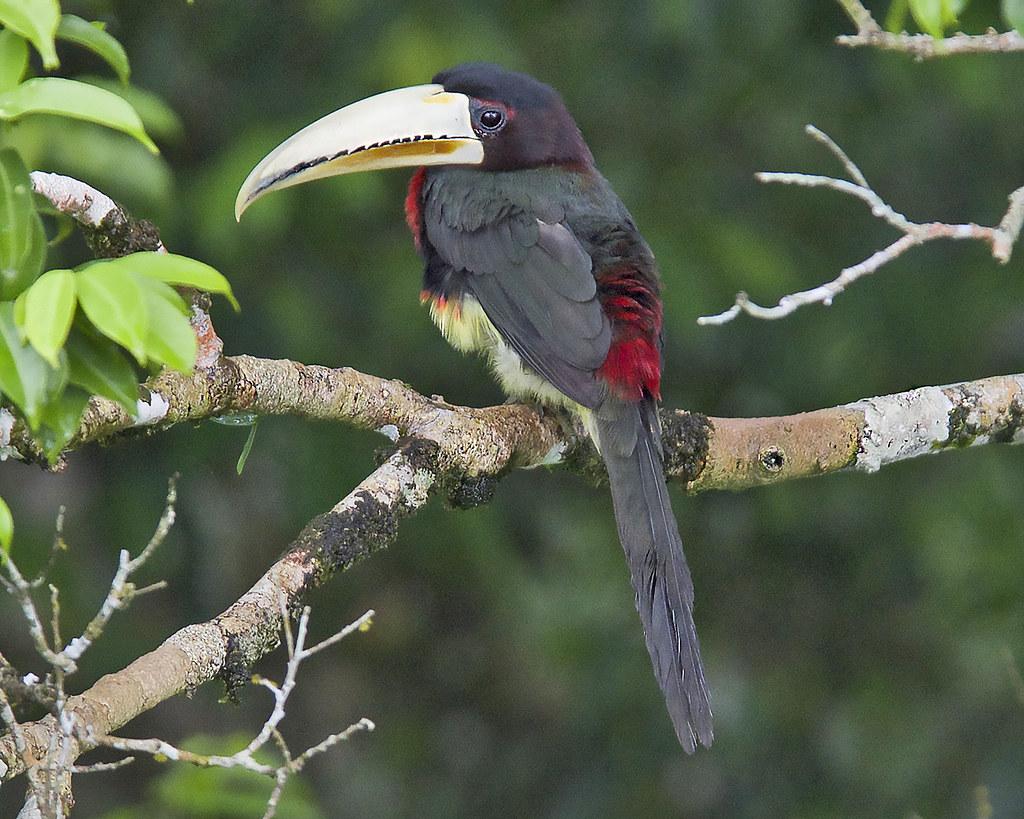 Ivory-billed Aracari in Ecuador