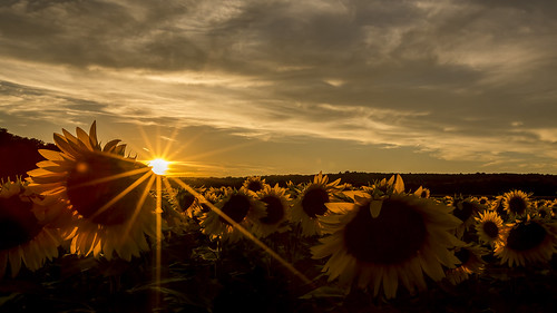 sunset newjersey nj sunflowers augusta sunflowermaze sussexcountysunflowermaze
