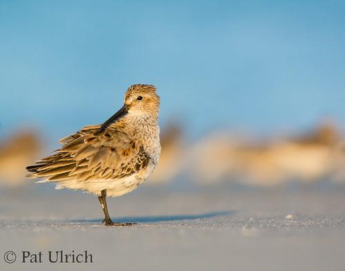 beach birds wildlife massachusetts running dunlin calidrisalpina sandpipers shorebirds plymouthbeach ©patulrich