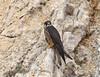 Eleonora's Falcon (Falco eleonorae) by Francisco Piedrahita