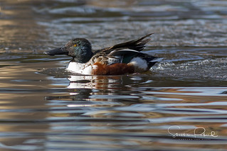 Northern Shoveler | by Stephen J Pollard (Loud Music Lover of Nature)