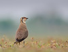 Oriental Pratincole Explored!!!! by Ramakrishnan R - my experiments with light