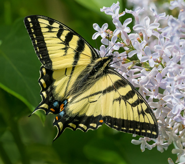 Canadian Tiger Swallowtail - Papilio canadensis (Papilionidae, Papilioninae, Papilionini) 114v-5477