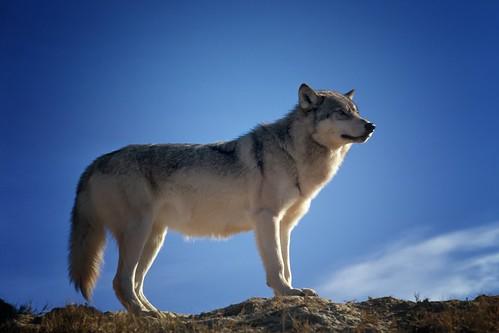 wolf-142173