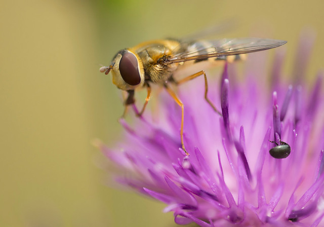 Hoverfly, Syrphus ribesii, Great Abington, Cambridgeshire, England