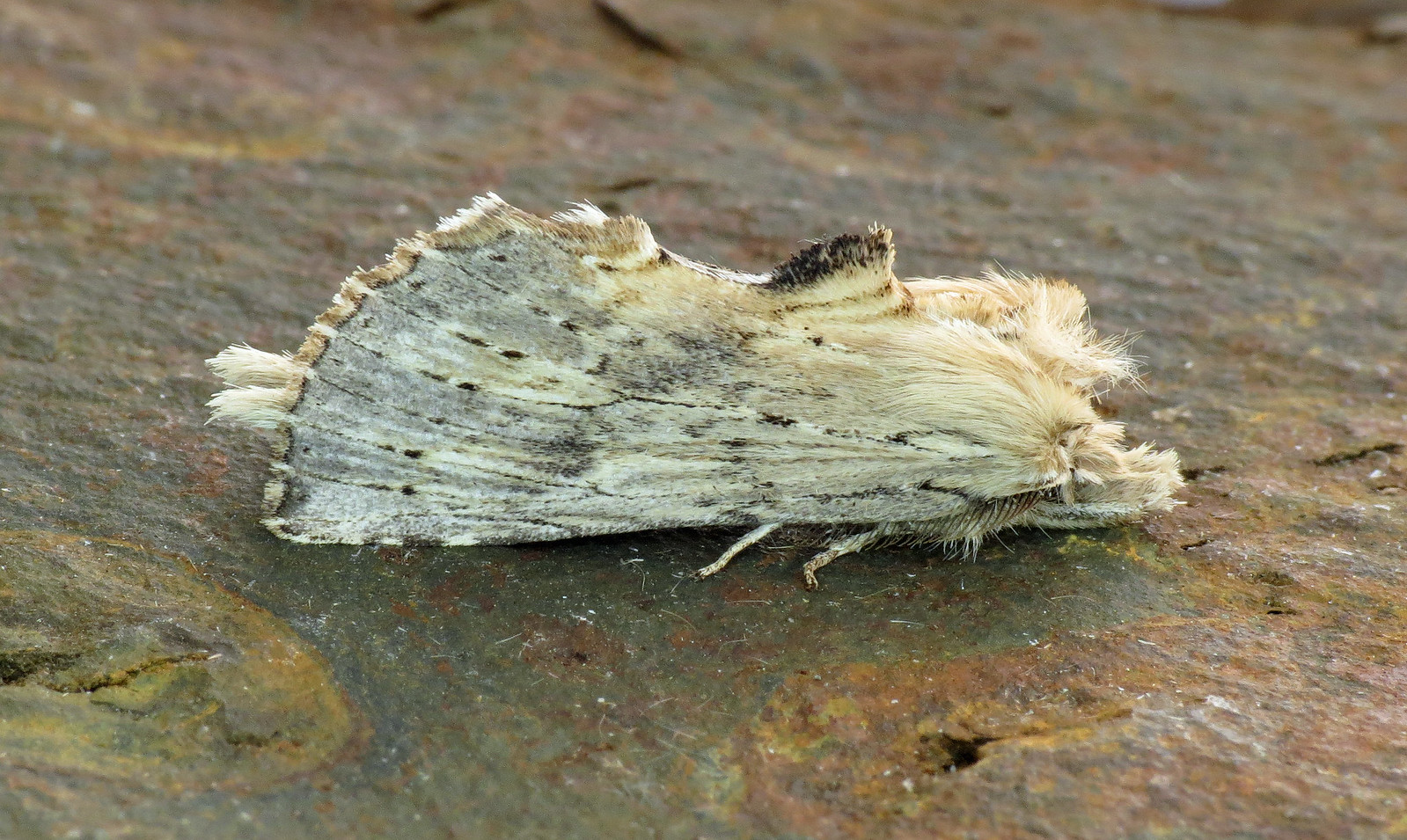 2011 Pale Prominent - Pterostoma palpina