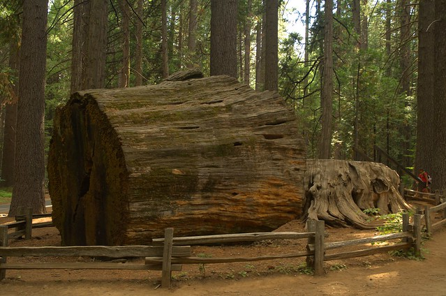 Discovery Tree/Big Stump