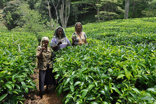 travel ceylon srilanka southasia asia teaplantations tea green landscape pussellawa teapickers teapickingwomen people dnysmphotography