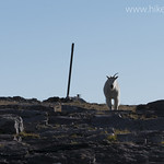 Mountain Goat at Comeau Pass