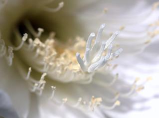 Cactus Bloom | by Mustang Koji