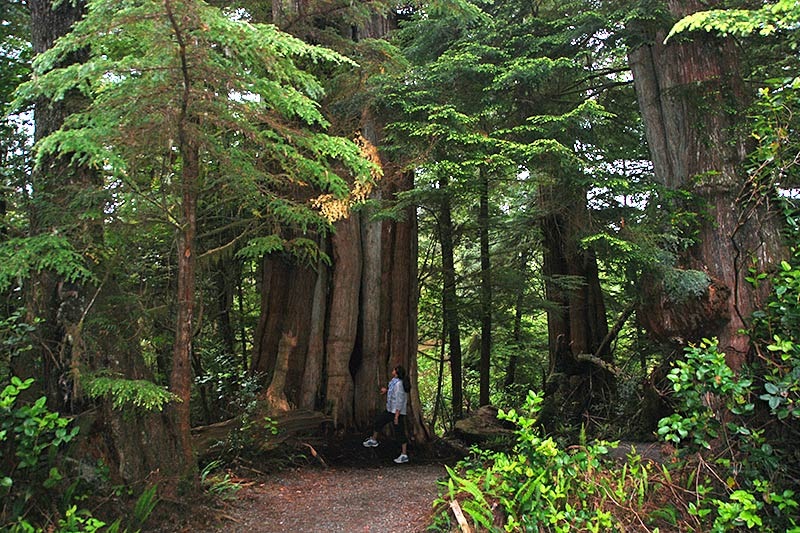Ancient Cedars Trail, Wild Pacific Trail, Ucluelet, Vancouver Island, British Columbia, Canada