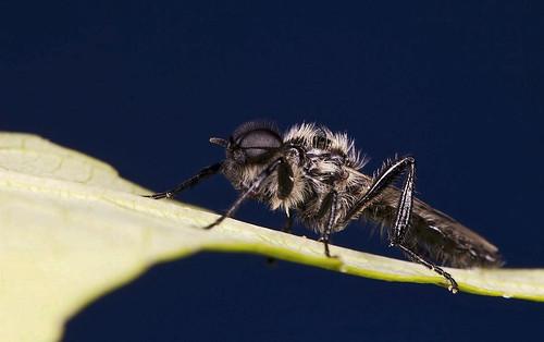 Male Bibio albipennis   by IshranI