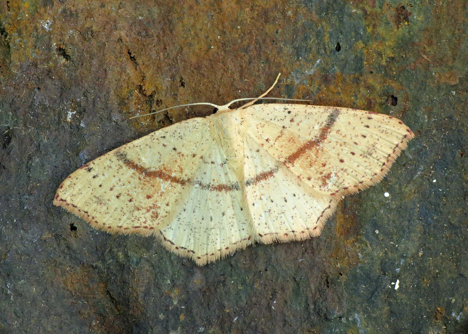 1680 Maiden's Blush - Cyclophora punctaria