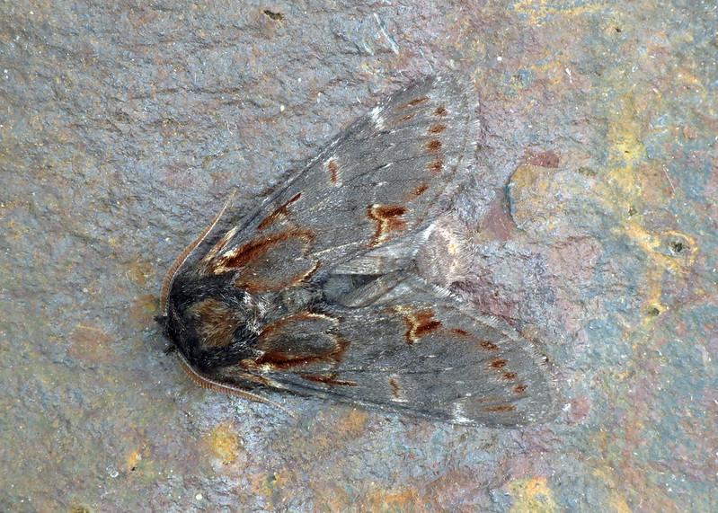 2000 Iron Prominent - Notodonta dromedarius