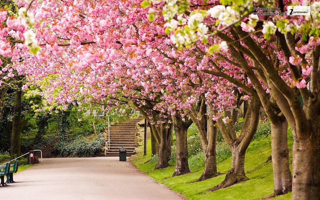 Pink Flowers Trees Desktop Wallpaper Pink Flowers Trees De