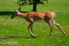 Oh Deer-7021