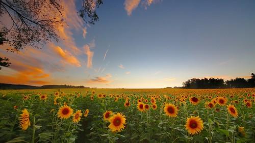 new travel sunset sky landscape countryside twilight bright outdoor dusk maryland sunflower sunsetlight magichour sunflowerfield