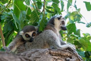 Lemur catta (Ring-tailed lemur )