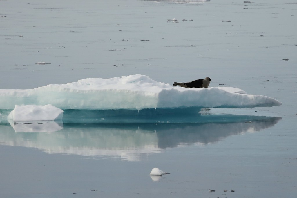 Bearded Seal Resting on Ice Raft Prince Lancaster Sound Canada High Arctic