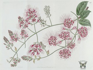Bushwillow. Combretum comosum. Climbing vine with clusters of blood red flowers. The Botanical Register vol. 14 (1828)