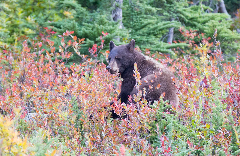 Black Bear in Berryland (Whistler)