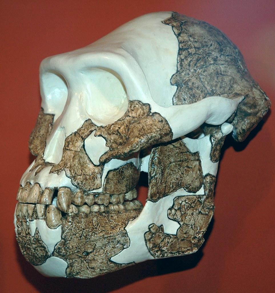 Australopithecus Afarensis Fossil Hominid  Pliocene  Easte U2026