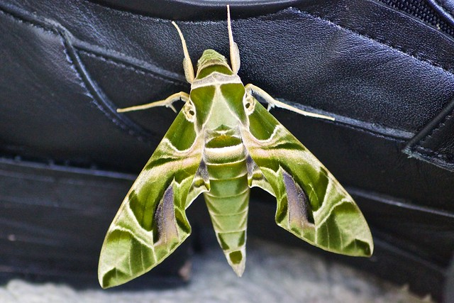 Daphnis nerii - The Oleander hawk moth or Army green moth