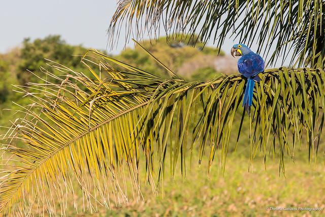 Arara Azul Grande (Hyacint Macaw)