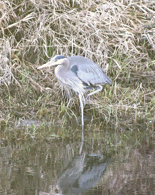 Heron in a pose_1