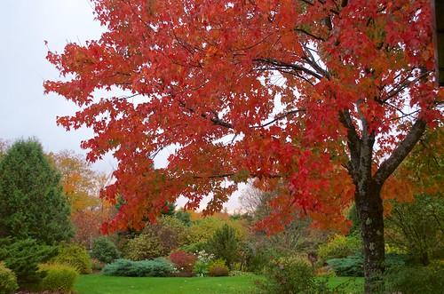 acerrubrum acerrubrumredsunset autumn fall fallcolor ffsp redmaple redsunset redsunsetmaple
