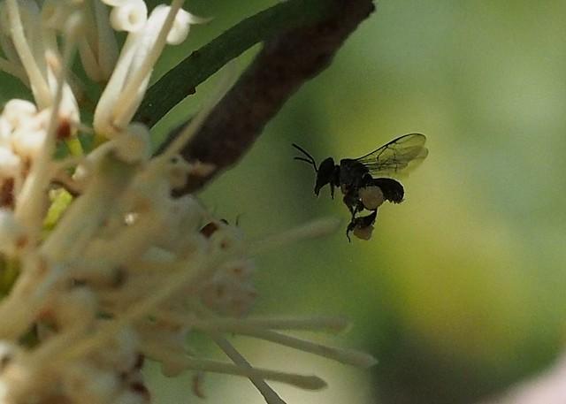 Australian Stingless Native Bee - about 4mm long